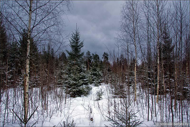 Еловый лес зимой фото