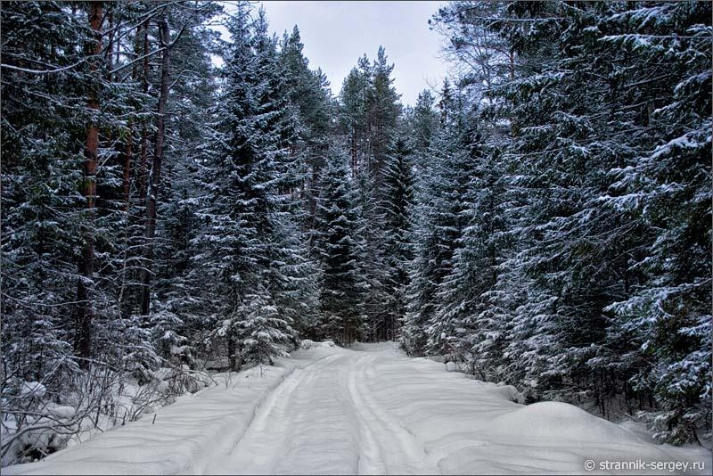 Лесная дорога в еловом лесу