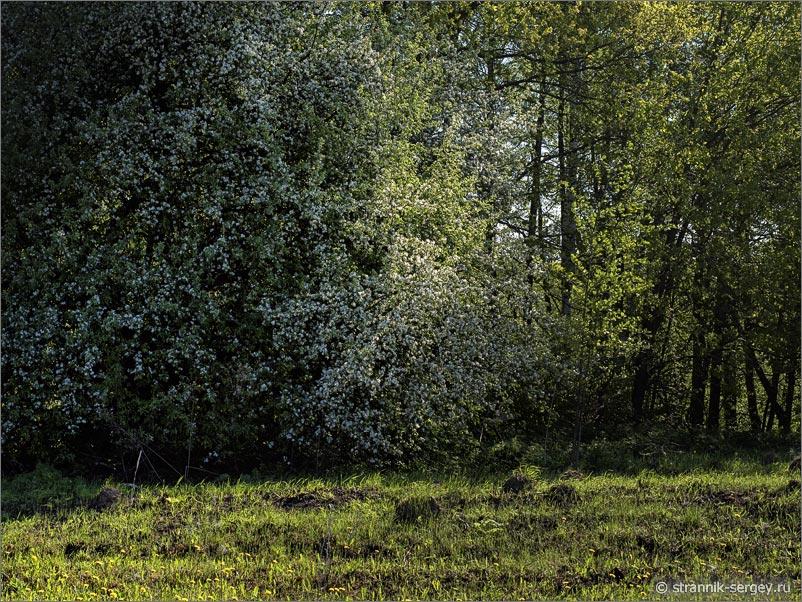 Дикие яблони в лесу
