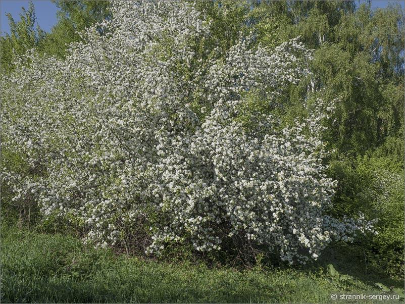 Цветущая дикая яблоня