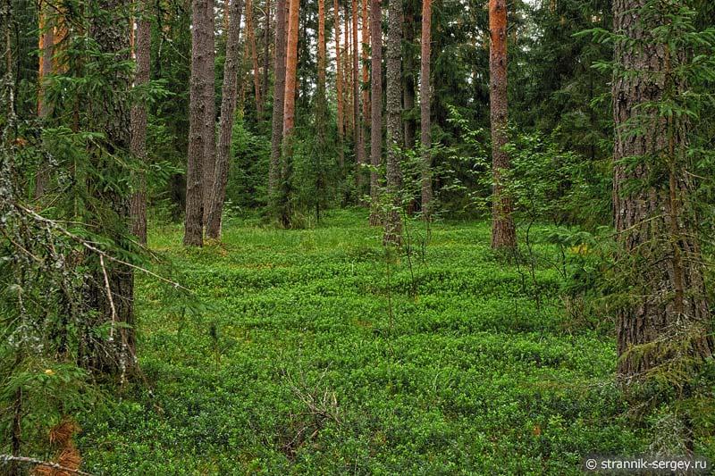 Брусничник в лесу